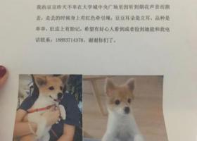 寻狗启示,重庆寻找黄白毛色串串狗!,它是一只非常可爱的宠物狗狗,希望它早日回家,不要变成流浪狗。