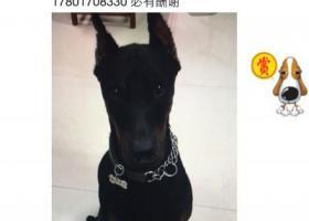 寻狗启示,两万元寻找爱犬哈德 黑色杜宾  买到的请与我联系,它是一只非常可爱的宠物狗狗,希望它早日回家,不要变成流浪狗。