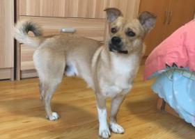 寻狗启示,寻找一只浅驼色田园犬,体型与柴犬类似,耳朵半耷拉,尾巴卷卷的,它是一只非常可爱的宠物狗狗,希望它早日回家,不要变成流浪狗。