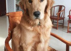 寻狗启示,万元重金寻海那城丢失金毛狗,它是一只非常可爱的宠物狗狗,希望它早日回家,不要变成流浪狗。