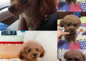 寻狗启示,福州寻狗启示(泰迪弟弟,名叫球球/虾球),它是一只非常可爱的宠物狗狗,希望它早日回家,不要变成流浪狗。