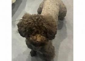 """寻狗启示,5000元寻泰迪""""""""小咖"""""""",它是一只非常可爱的宠物狗狗,希望它早日回家,不要变成流浪狗。"""
