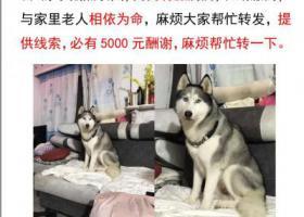 寻狗启示,北京昌平重金寻找9岁公狗哈士奇,它是一只非常可爱的宠物狗狗,希望它早日回家,不要变成流浪狗。