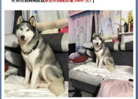 寻狗启示,5000元寻9岁哈士奇公狗,它是一只非常可爱的宠物狗狗,希望它早日回家,不要变成流浪狗。