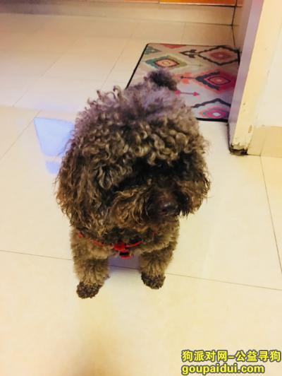 岳阳捡到狗,捡到深灰色泰迪公狗一只!,它是一只非常可爱的宠物狗狗,希望它早日回家,不要变成流浪狗。