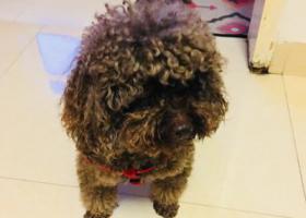 寻狗启示,捡到深灰色泰迪公狗一只!,它是一只非常可爱的宠物狗狗,希望它早日回家,不要变成流浪狗。