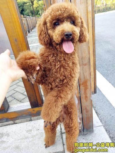 信阳丢狗,寻找爱犬泰迪(球球),信阳工区路丢失,它是一只非常可爱的宠物狗狗,希望它早日回家,不要变成流浪狗。