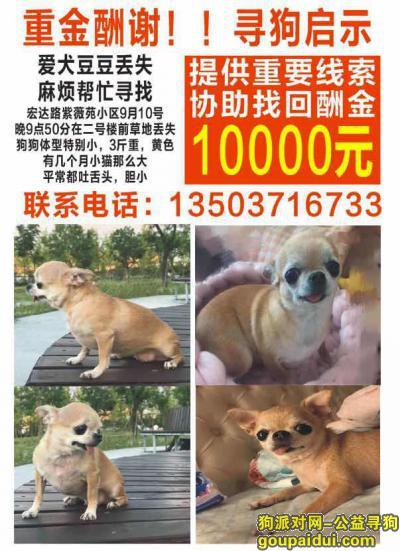 ,郑州金水区宏达路紫薇苑小区酬谢一万元寻找吉娃娃,它是一只非常可爱的宠物狗狗,希望它早日回家,不要变成流浪狗。