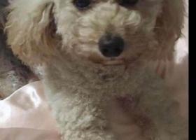 寻狗启示,珠海香洲区五洲康城北门酬谢三千元寻找贵宾,它是一只非常可爱的宠物狗狗,希望它早日回家,不要变成流浪狗。