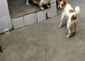 寻狗启示,胖狗在新都新民镇街上的家门口被偷狗贼偷了,它是一只非常可爱的宠物狗狗,希望它早日回家,不要变成流浪狗。