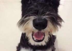 寻狗启示,黑色需纳瑞、胸前是白毛、名字叫七饼、体长跟一般泰迪差不多大,它是一只非常可爱的宠物狗狗,希望它早日回家,不要变成流浪狗。