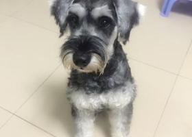 寻狗启示,寻狗启示-布吉-雪纳瑞,它是一只非常可爱的宠物狗狗,希望它早日回家,不要变成流浪狗。