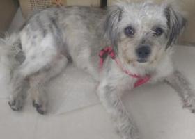 寻狗启示,在龙华上塘地铁站附近捡到走失狗狗,它是一只非常可爱的宠物狗狗,希望它早日回家,不要变成流浪狗。