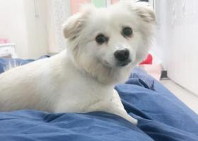 寻狗启示,白色12斤左右的小狗,耳朵略黄,名字叫五百。找到万金酬谢,它是一只非常可爱的宠物狗狗,希望它早日回家,不要变成流浪狗。
