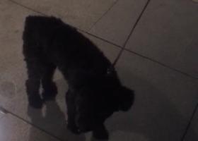寻狗启示,上海长宁区金光绿庭捡到黑色泰迪,请主人尽快联系!,它是一只非常可爱的宠物狗狗,希望它早日回家,不要变成流浪狗。