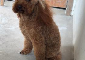 寻狗启示,弋江区中央城丢失一条公棕色泰迪,它是一只非常可爱的宠物狗狗,希望它早日回家,不要变成流浪狗。