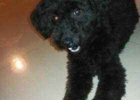 寻狗启示,上海金光绿庭捡到狗狗,胸口有白毛,它是一只非常可爱的宠物狗狗,希望它早日回家,不要变成流浪狗。