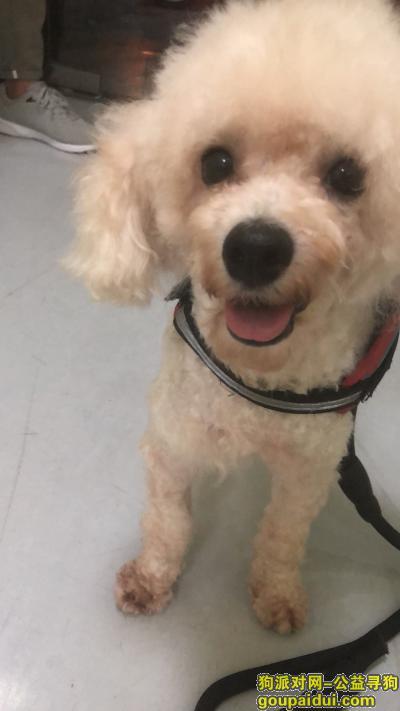 寻狗启示,嘉定区蓝翔镇捡到一只贵宾求主人和领养,它是一只非常可爱的宠物狗狗,希望它早日回家,不要变成流浪狗。