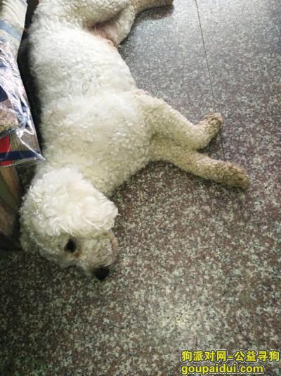 黄山寻狗网,1千元寻狗长腿比熊断尾,它是一只非常可爱的宠物狗狗,希望它早日回家,不要变成流浪狗。
