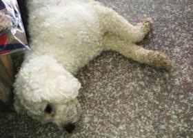寻狗启示,1千元寻狗长腿比熊断尾,它是一只非常可爱的宠物狗狗,希望它早日回家,不要变成流浪狗。