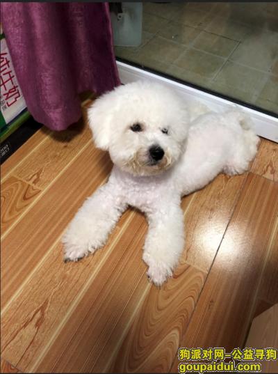 温州捡到狗,温州鹿城上美小区捡到一只白色比熊,它是一只非常可爱的宠物狗狗,希望它早日回家,不要变成流浪狗。