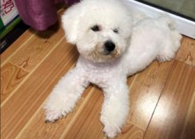 寻狗启示,温州鹿城上美小区捡到一只白色比熊,它是一只非常可爱的宠物狗狗,希望它早日回家,不要变成流浪狗。