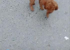 寻狗启示,寻找泰迪狗,公的。,它是一只非常可爱的宠物狗狗,希望它早日回家,不要变成流浪狗。