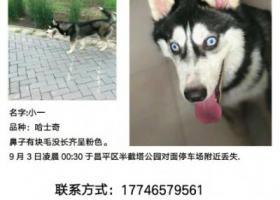 寻狗启示,5000元寻找哈士奇,多谢好心人!!!,它是一只非常可爱的宠物狗狗,希望它早日回家,不要变成流浪狗。
