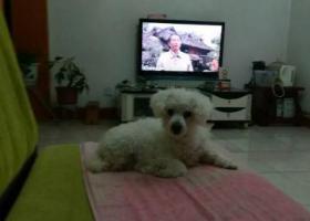 白色贵宾犬,嘴上,腿上的毛理了