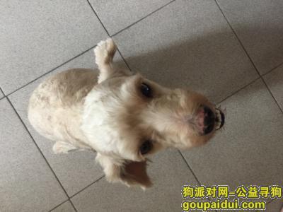 寻狗启示,双龙南街偶遇贵宾,望主人及时寻回家,它是一只非常可爱的宠物狗狗,希望它早日回家,不要变成流浪狗。