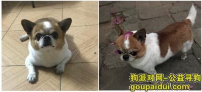 ,本人小狗2018年9月17日晚上9点左右在湛江市霞山区海淀路,它是一只非常可爱的宠物狗狗,希望它早日回家,不要变成流浪狗。