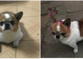 寻狗启示,本人小狗2018年9月17日晚上9点左右在湛江市霞山区海淀路,它是一只非常可爱的宠物狗狗,希望它早日回家,不要变成流浪狗。