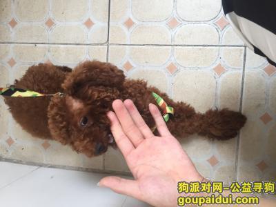 寻狗启示,深圳兴东捡一只棕泰迪,它是一只非常可爱的宠物狗狗,希望它早日回家,不要变成流浪狗。