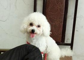 寻狗启示,一只母的白色比熊,13那天丢失希望好心人找到联系我当面酬谢,它是一只非常可爱的宠物狗狗,希望它早日回家,不要变成流浪狗。