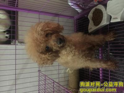 寻狗启示,9月7日团一大地铁口附近捡到泰迪/贵宾,它是一只非常可爱的宠物狗狗,希望它早日回家,不要变成流浪狗。