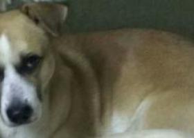 寻狗启示,天津找狗-河西区渌水道往郊外方向丢失3岁公狗,它是一只非常可爱的宠物狗狗,希望它早日回家,不要变成流浪狗。