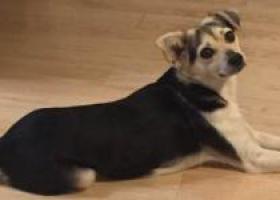 寻狗启示,重金酬谢寻找土狗扭扭,它是一只非常可爱的宠物狗狗,希望它早日回家,不要变成流浪狗。