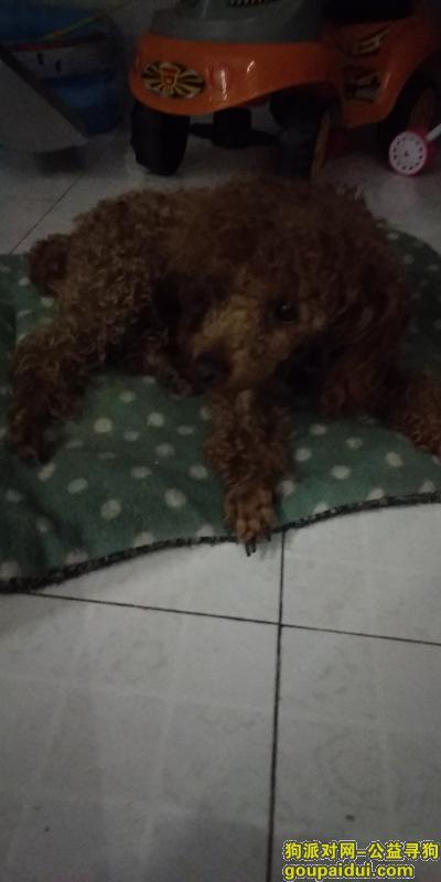 巢湖找狗主人,9.18日巢湖七中门口捡到棕色母泰迪。身上有牵引绳,它是一只非常可爱的宠物狗狗,希望它早日回家,不要变成流浪狗。