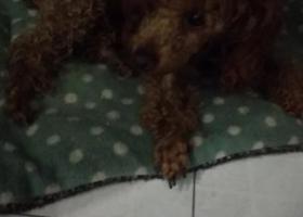 寻狗启示,9.18日巢湖七中门口捡到棕色母泰迪。身上有牵引绳,它是一只非常可爱的宠物狗狗,希望它早日回家,不要变成流浪狗。