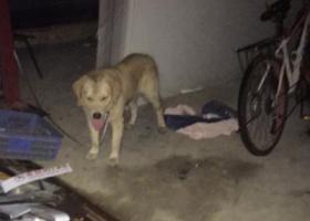 寻狗启示,210年9月17日晚上22点左右在三山大坊村工业区集嘉广场附近捡到一只金毛犬,它是一只非常可爱的宠物狗狗,希望它早日回家,不要变成流浪狗。