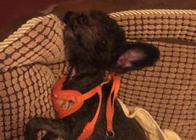 寻狗启示,福州市仓山区寻找黑色泰迪,它是一只非常可爱的宠物狗狗,希望它早日回家,不要变成流浪狗。