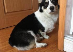 寻狗启示,丹阳吕城走丢黑白柯基,它是一只非常可爱的宠物狗狗,希望它早日回家,不要变成流浪狗。