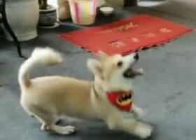寻狗启示,寻找柯基串串,7个月,三宝,它是一只非常可爱的宠物狗狗,希望它早日回家,不要变成流浪狗。