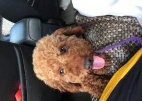 寻狗启示,找丢失的两岁左右的小公狗来福,它是一只非常可爱的宠物狗狗,希望它早日回家,不要变成流浪狗。