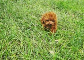 寻狗启示,中心医院走失棕色泰迪,它是一只非常可爱的宠物狗狗,希望它早日回家,不要变成流浪狗。