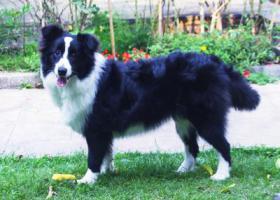 寻狗启示,深圳边牧丢失(南山同乐村附近),它是一只非常可爱的宠物狗狗,希望它早日回家,不要变成流浪狗。