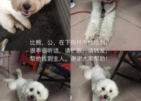 寻狗启示,深圳市下梅林市场附近捡到公比熊一只,它是一只非常可爱的宠物狗狗,希望它早日回家,不要变成流浪狗。