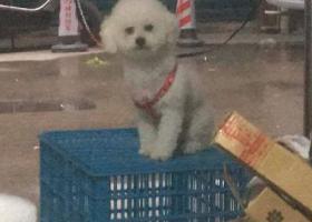 寻狗启示,温州地区寻狗(白色比熊),它是一只非常可爱的宠物狗狗,希望它早日回家,不要变成流浪狗。