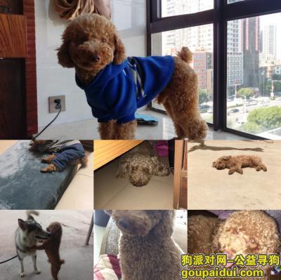 ,5000元寻爱犬泰迪!,它是一只非常可爱的宠物狗狗,希望它早日回家,不要变成流浪狗。