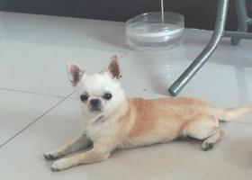 寻狗启示,在天津市东丽区好美嘉园小区。,它是一只非常可爱的宠物狗狗,希望它早日回家,不要变成流浪狗。